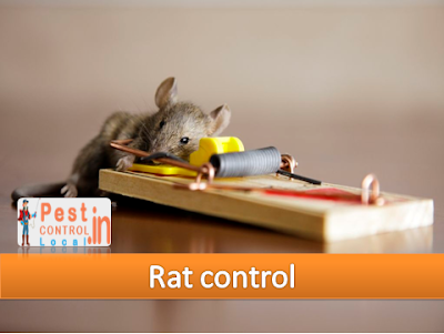 Asian start Norway rodents are found all through the world in the present time. The Norway...